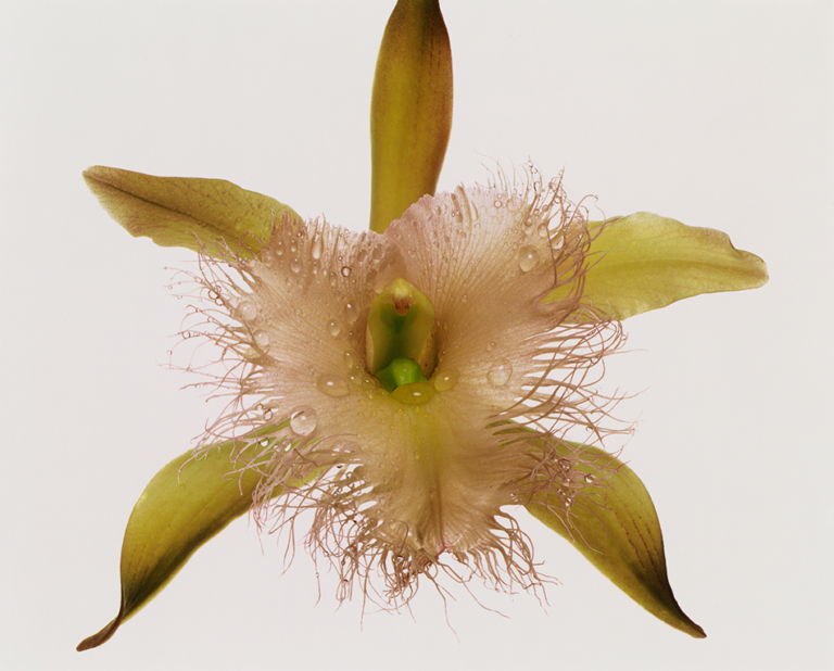 Irving Penn - Orchid: Rhyncholaelia Digbyana, 1983